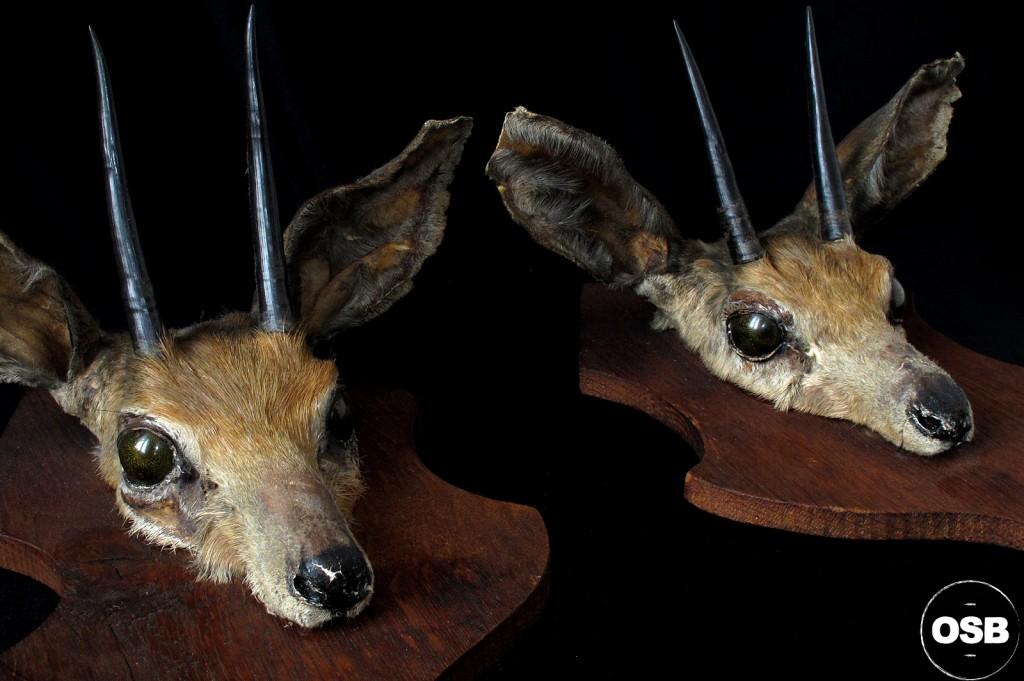 MASACRE TROPHE SPRINBOK AFRIQUE DECORATION CURIEUSE CABINET CURIOSITE ETRANGE 3